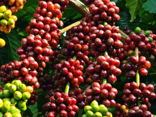 Cụm từ tiếng Anh về sản xuất và xuất khẩu cà phê